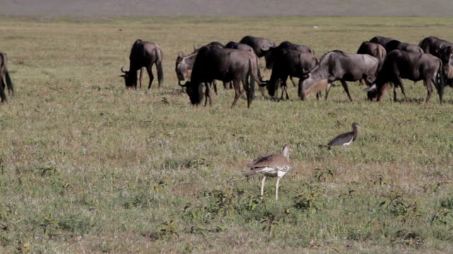 bird and wildebeests in the veld