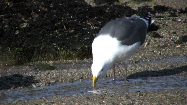 bird at the beach - low tide stock videos & royalty-free footage