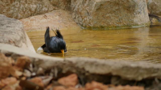 vídeos y material grabado en eventos de stock de aves (acridotheres) bañándose en el estanque. - baño para pájaros