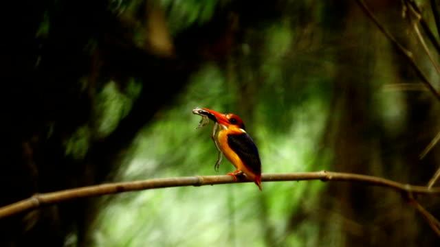 vídeos y material grabado en eventos de stock de bird, beautiful bird, black backed kingfisher (oriental dwarf kingfisher) or  three-toed kingfisher - enano