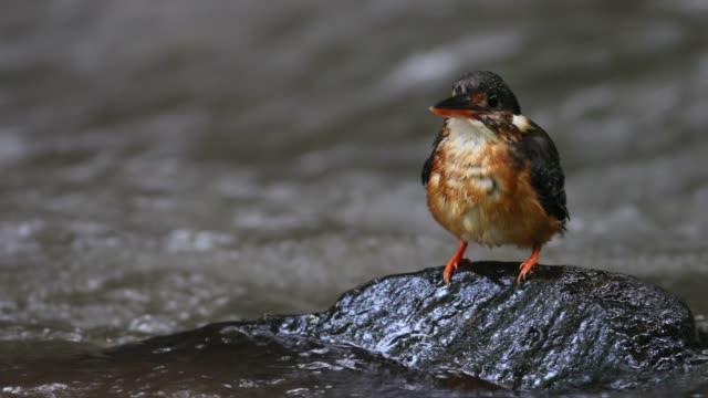 vidéos et rushes de oiseaux: myscelia kingfisher - bouche des animaux