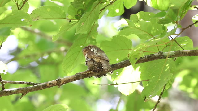 bird, blyth's frogmouth (batrachostomus affinis) - tarnung stock-videos und b-roll-filmmaterial