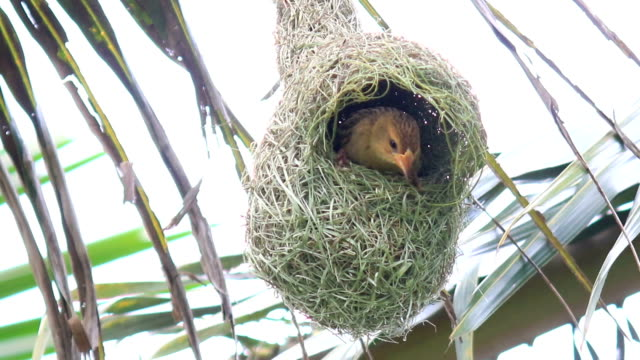 hd: bird build nest on coconut tree - bird's nest stock videos & royalty-free footage