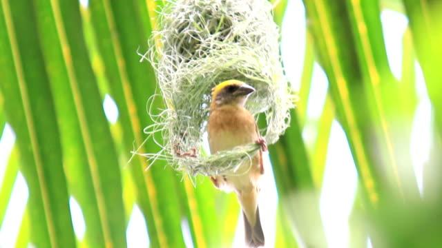 hd: bird build nest on tree - animal nest stock videos and b-roll footage
