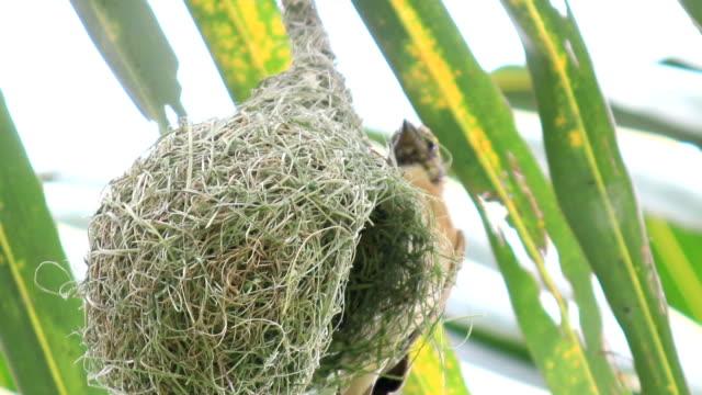 hd: bird build nest on tree - animal nest stock videos & royalty-free footage