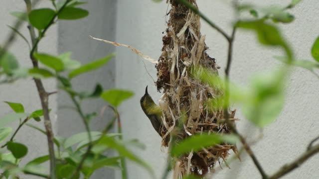 vidéos et rushes de ฺbird construire son nid sur le citronnier - nid