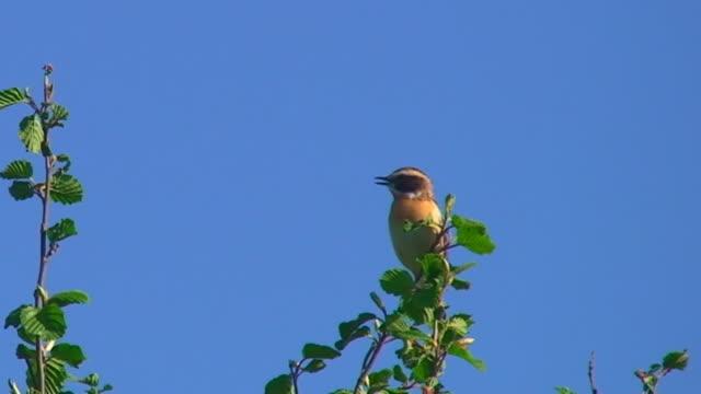 vídeos de stock, filmes e b-roll de pássaro telefone da copa de árvore - canto