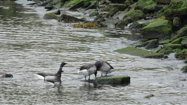 vídeos y material grabado en eventos de stock de bird canadian goose swiming in a park in new york city - grupo mediano de animales