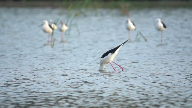 bird catching a fish slow motion - stilts stock videos and b-roll footage