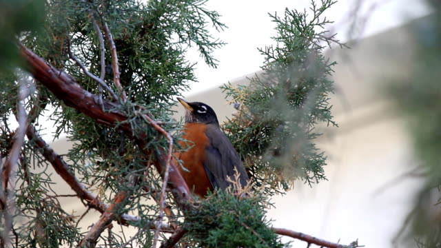 bird chirping - birdsong stock videos & royalty-free footage