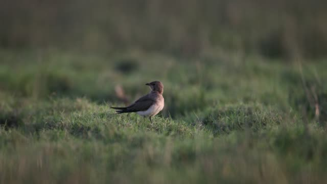 bird : collared pratincole (glareola pratincola) - foraging stock videos & royalty-free footage