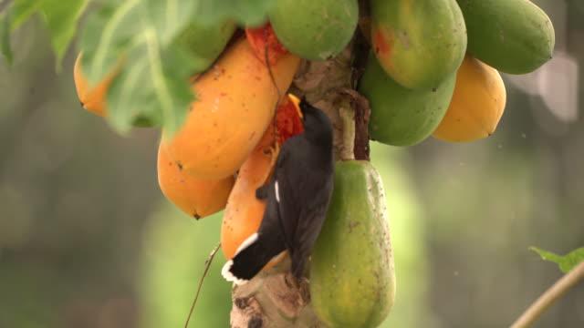 bird coming for papaya fruit - orchard stock videos & royalty-free footage
