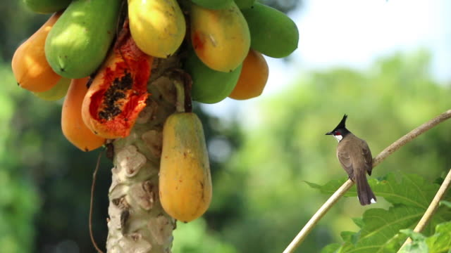 bird coming for papaya fruit - papaya stock videos & royalty-free footage