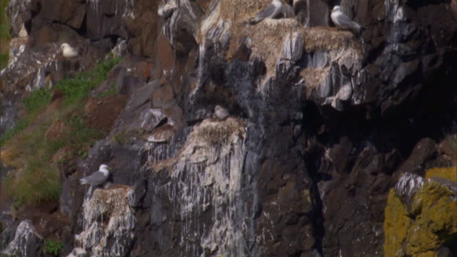Bird droppings stain a cliff below a flock of nesting gulls.