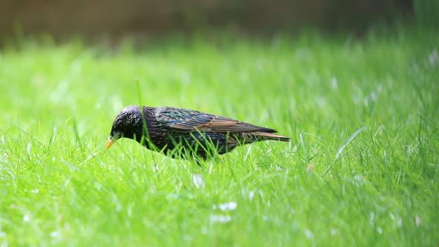 vídeos de stock e filmes b-roll de a bird eating a prey on the grass - cara para baixo
