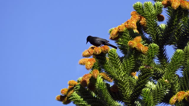 bird eating araucaria seeds - coniferous stock videos & royalty-free footage