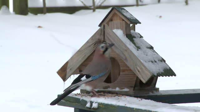 MS Bird eating food from near bird house  /  Kastel-Staadt, Rhineland-Palatinate, Germany