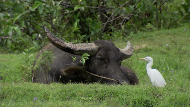 ms bird eating insects from buffalo's head, vietnam - water buffalo stock videos & royalty-free footage