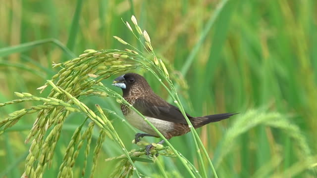 bird eating rice in rice field - land stock videos & royalty-free footage
