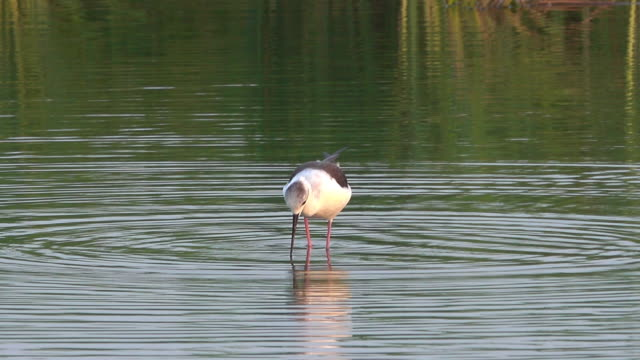 bird eating snail in water - water bird stock videos & royalty-free footage