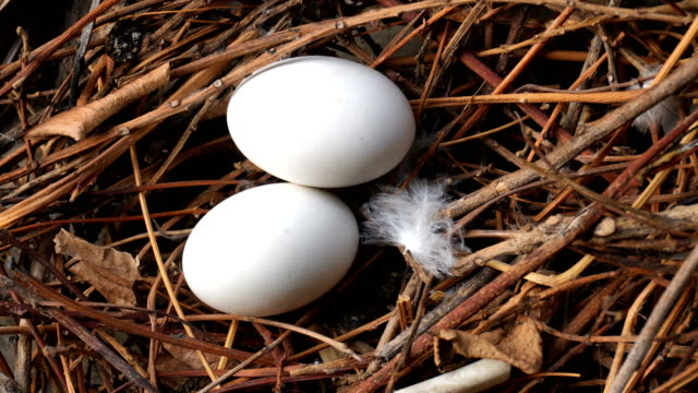 bird eggs in the nest - sea water bird stock videos & royalty-free footage