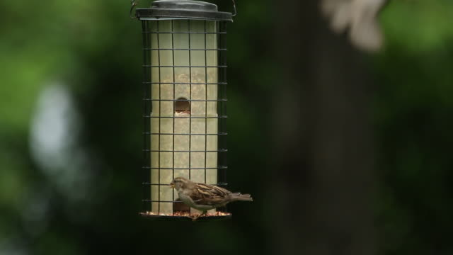 Bird feeder, black-capped chickadee and house sparrows
