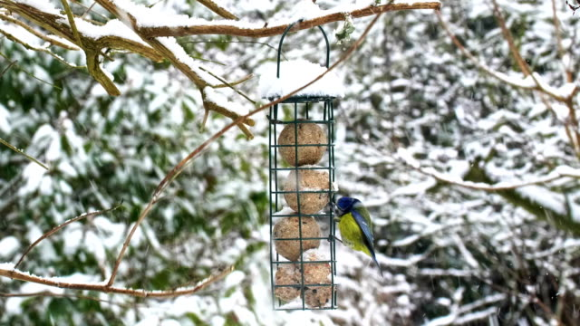 Bird feeder in winter snow. Blue Tit.