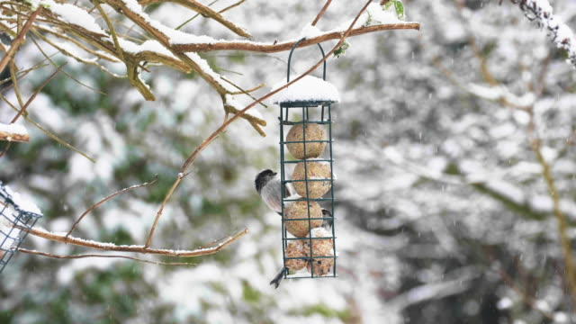 Bird feeder in winter snow. Long-tailed Tit.