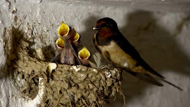 SLO MO Bird feeding chicks in the nest