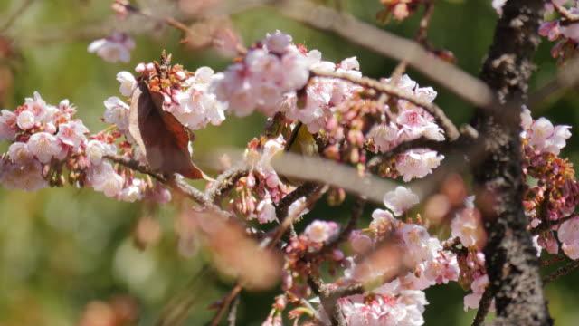Bird feeding sweet on cherry blossom in Ueno park, Japan. (handheld the camera)