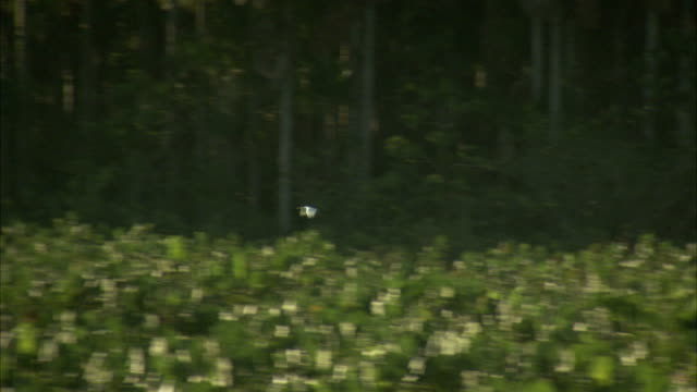 A bird flies over marshlands by the Amazon river. Available in HD.