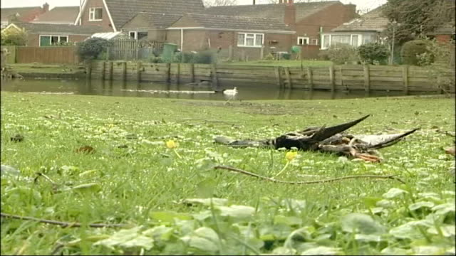 vidéos et rushes de authorities accused of failing to cope england york ext duck on water close up of dead duck on ground with pond and houses in background ducks... - water bird