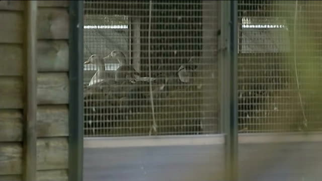 stockvideo's en b-roll-footage met bird flu outbreak at yorkshire duck farm east yorkshire nafferton bird farm sign on farm gate 'avian influenza keep out' ducks in cage at farm police... - vogelpestvirus