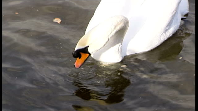 vídeos de stock e filmes b-roll de swan in scotland tests positive for h5n1virus date swan and ducks on water - vírus da gripe aviária