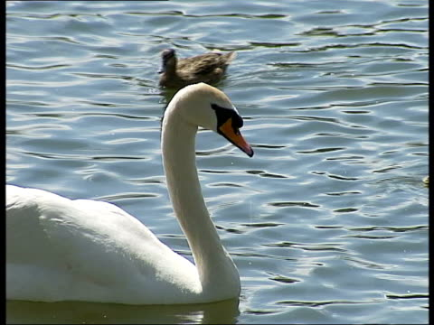 Swan in Scotland tests positive for H5N1virus TX Swan on lake Group of ducklings in water Clean Feed Tape = D0607743 OR D0607744 00033423 00072207...