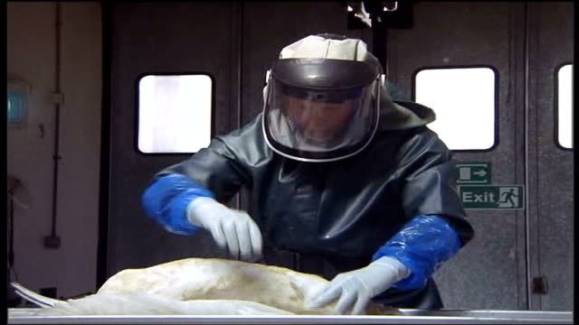 tests on dead birds continue; scotland: aberdeen: int sequence defra official in protective overalls and head gear examining dead swan at sea ext... - avian flu virus stock videos & royalty-free footage