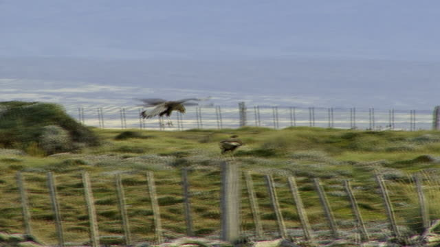 WS PAN Bird flying and landing on wooden fence / Punta Arenas, Magallanes, Chile