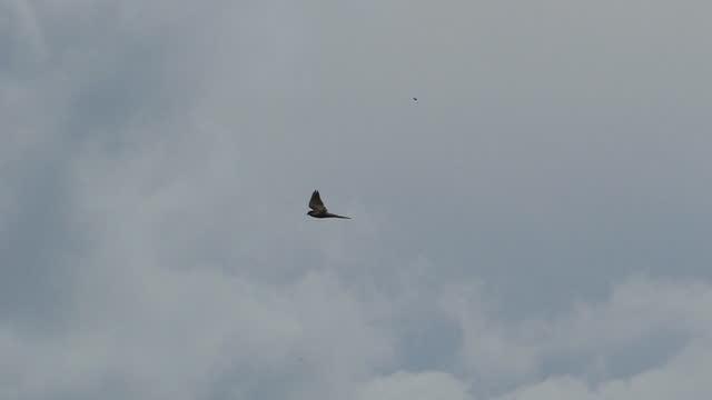 vogel fliegen in der natur. - habicht stock-videos und b-roll-filmmaterial