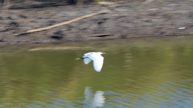 bird flying, slow motion. - pond stock videos & royalty-free footage