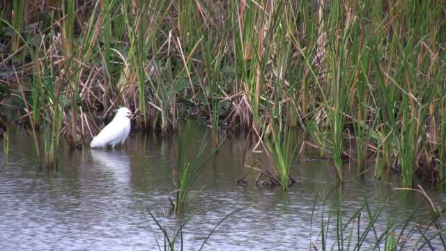 stockvideo's en b-roll-footage met bird flys away, everglades - zilverreiger