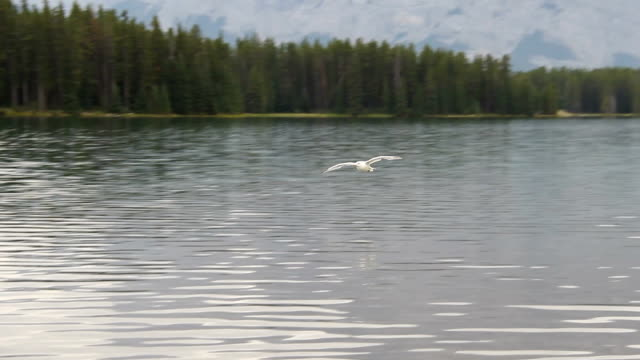 bird gliding flying over lake - animal call stock videos & royalty-free footage