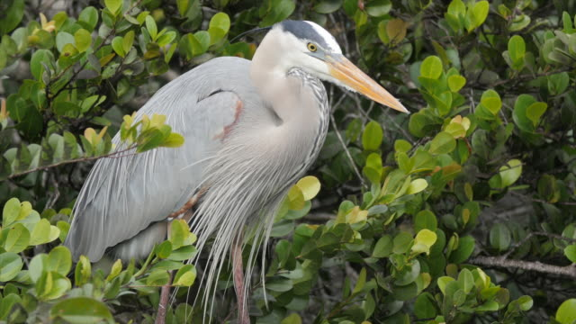bird great blue heron in the wild of everglades national park - great blue heron stock videos and b-roll footage