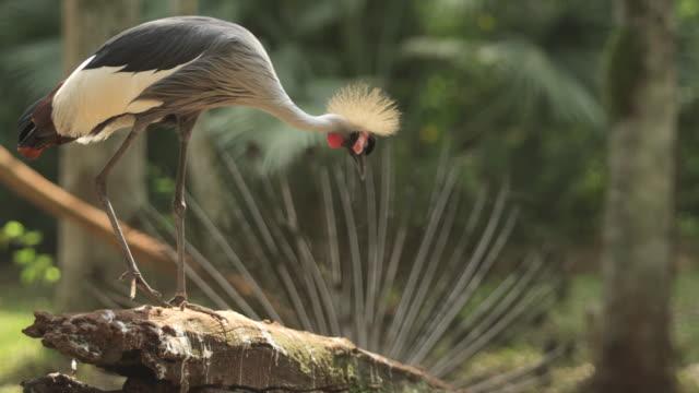 stockvideo's en b-roll-footage met bird, grey crowned crane, standing on the perch, bending down - bukken