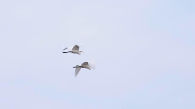 slow motion: bird - grey heron (stork) flies in the sky - heron stock videos & royalty-free footage