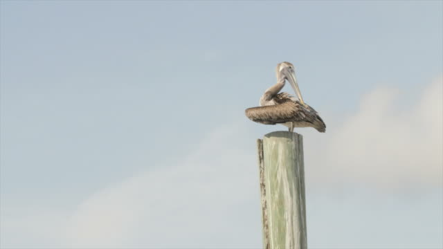 vidéos et rushes de bird heron cleaning its feathers on top of the post - poteau en bois