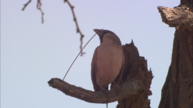 a bird holds a twig in its mouth as it perches on a branch. - twig stock videos & royalty-free footage