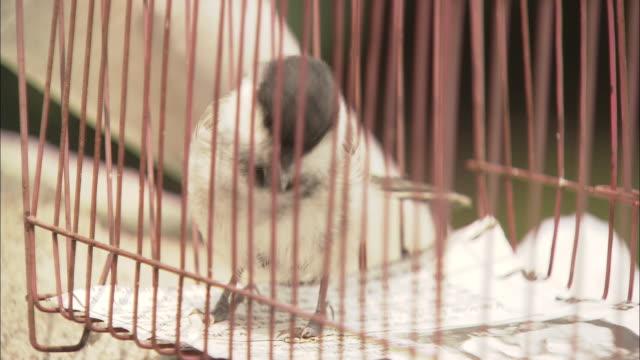 vídeos de stock, filmes e b-roll de cu bird hopping around cage, beijing, beijing, china - cativeiro