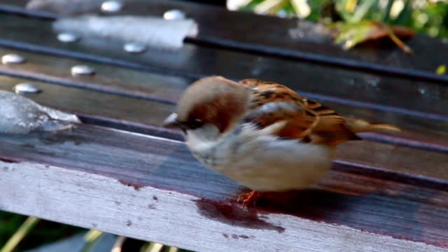 bird in a bench - sparrow stock videos & royalty-free footage