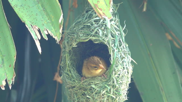 bird in bird's nest - songbird stock videos & royalty-free footage