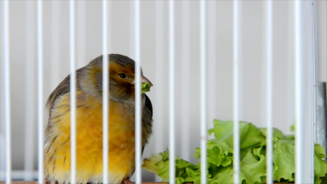 bird in cage - leite stock videos and b-roll footage